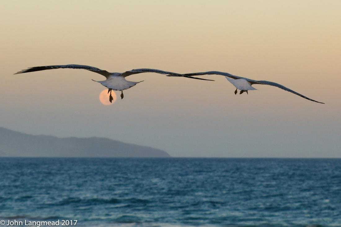 Seagull series-8