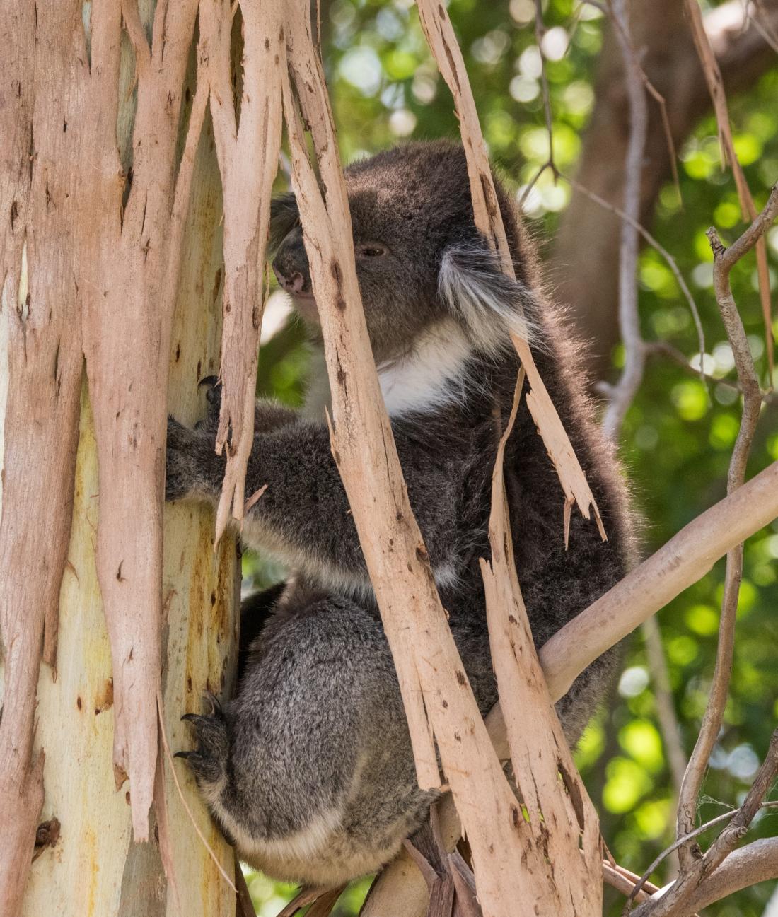 John Langmead_George & koala AB_1346_20180106_Online