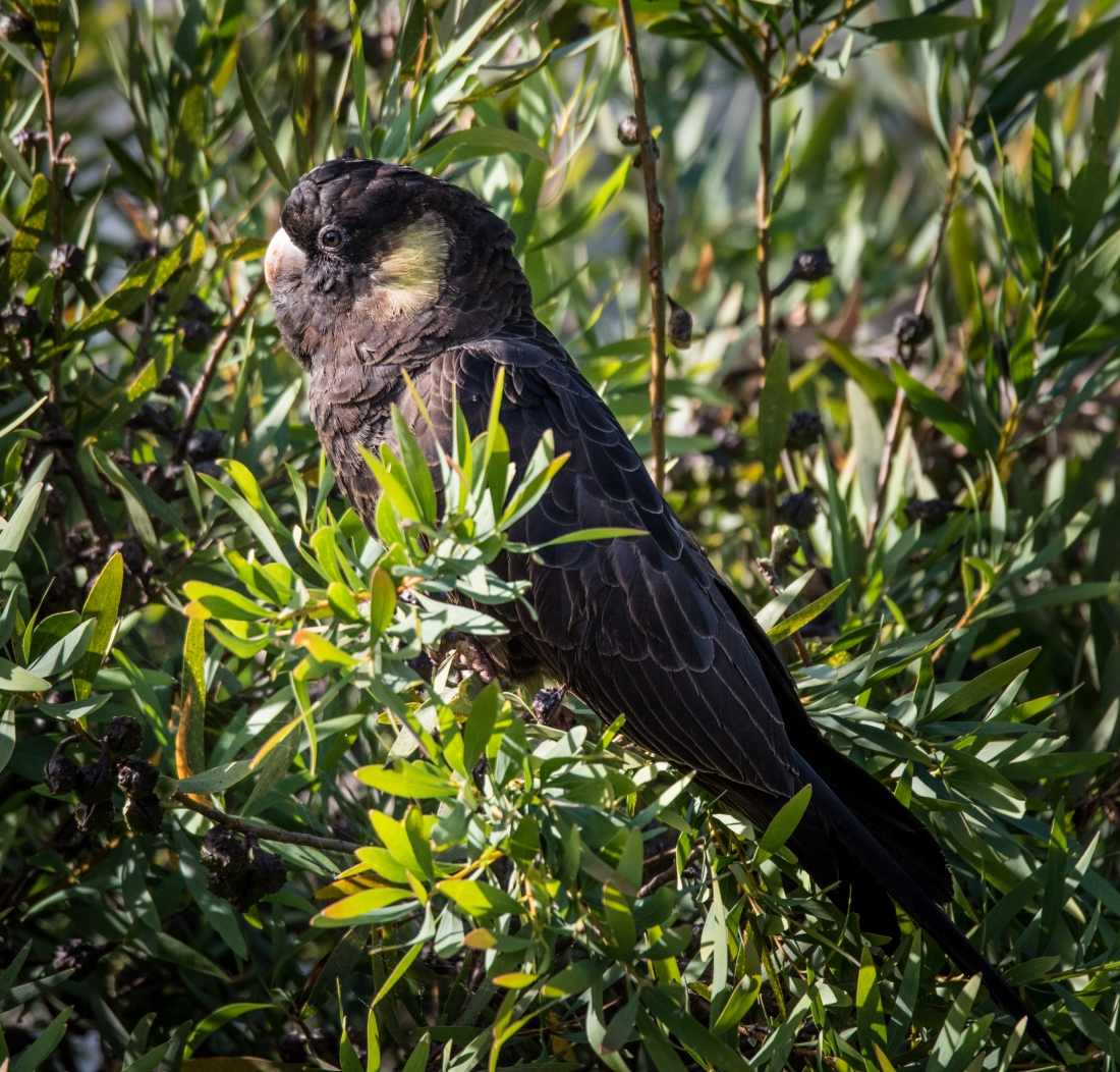 John Langmead_Yellow tailed cockatoo_1221_20180105_Online