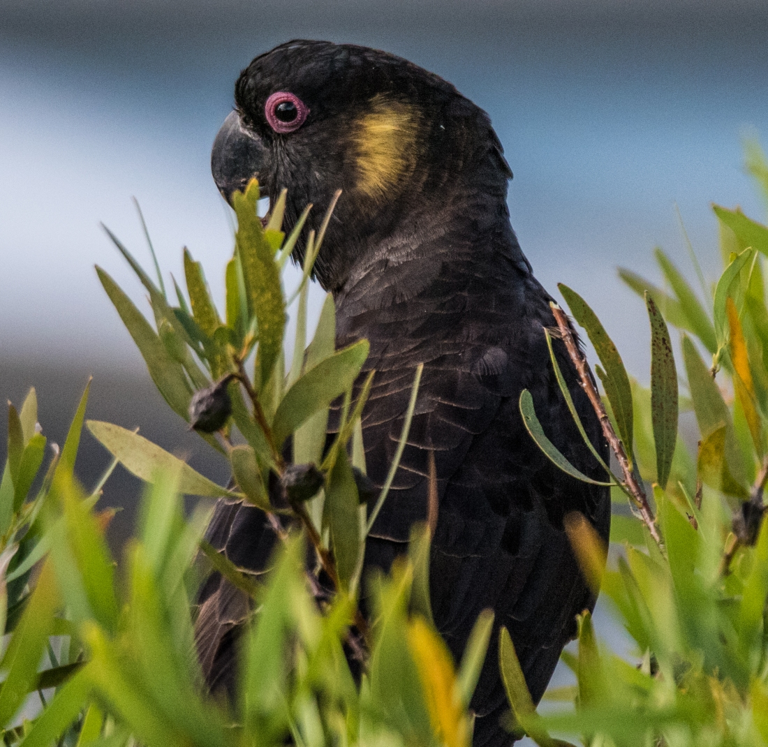 John Langmead_Yellow tailed cockatoo_1271_20180105_Online