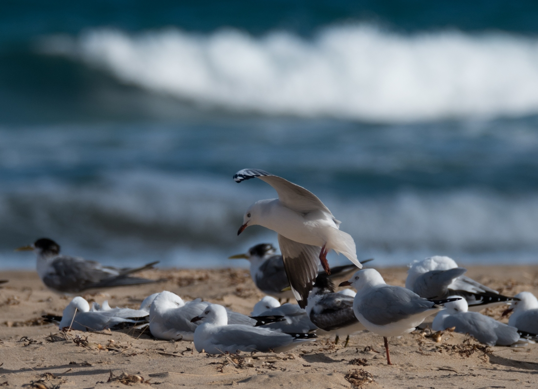 John Langmead_Seabirds Marengo Beach 6 march 2018_2262_20180306_Online-2