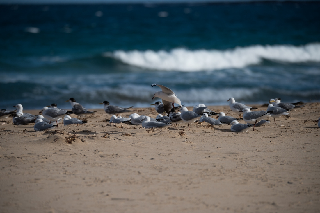 John Langmead_Seabirds Marengo Beach 6 march 2018_2262_20180306_Online