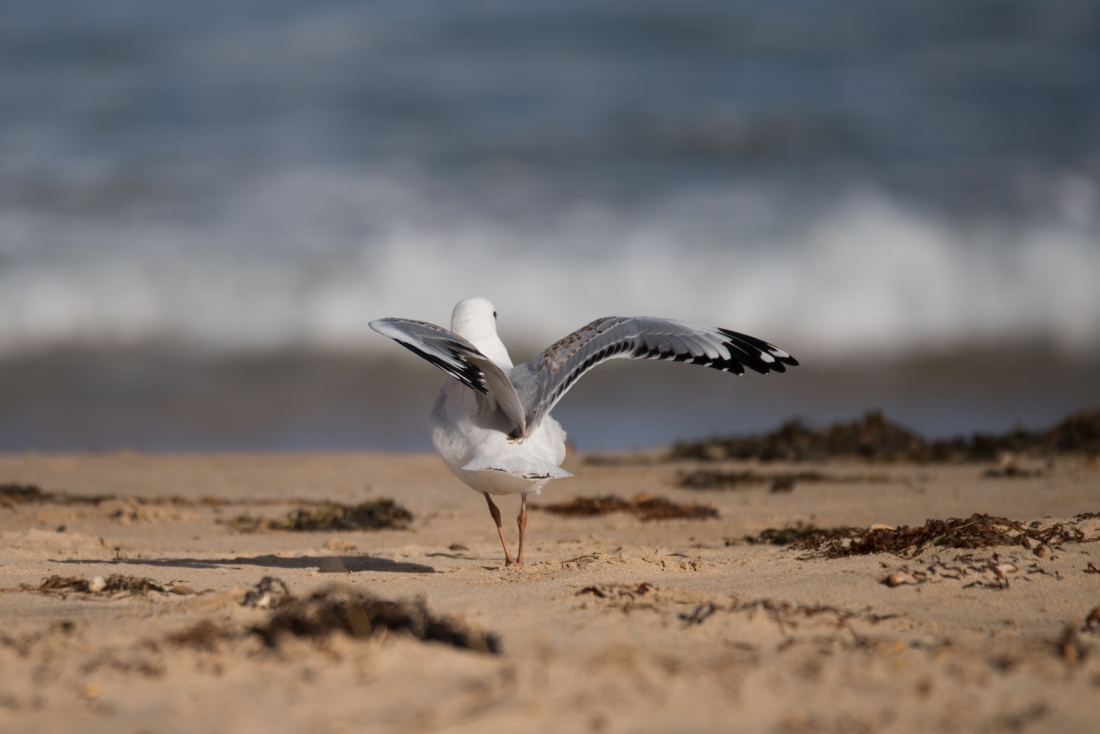 John Langmead_Seabirds Marengo Beach 6 march 2018_2282_20180306_Online