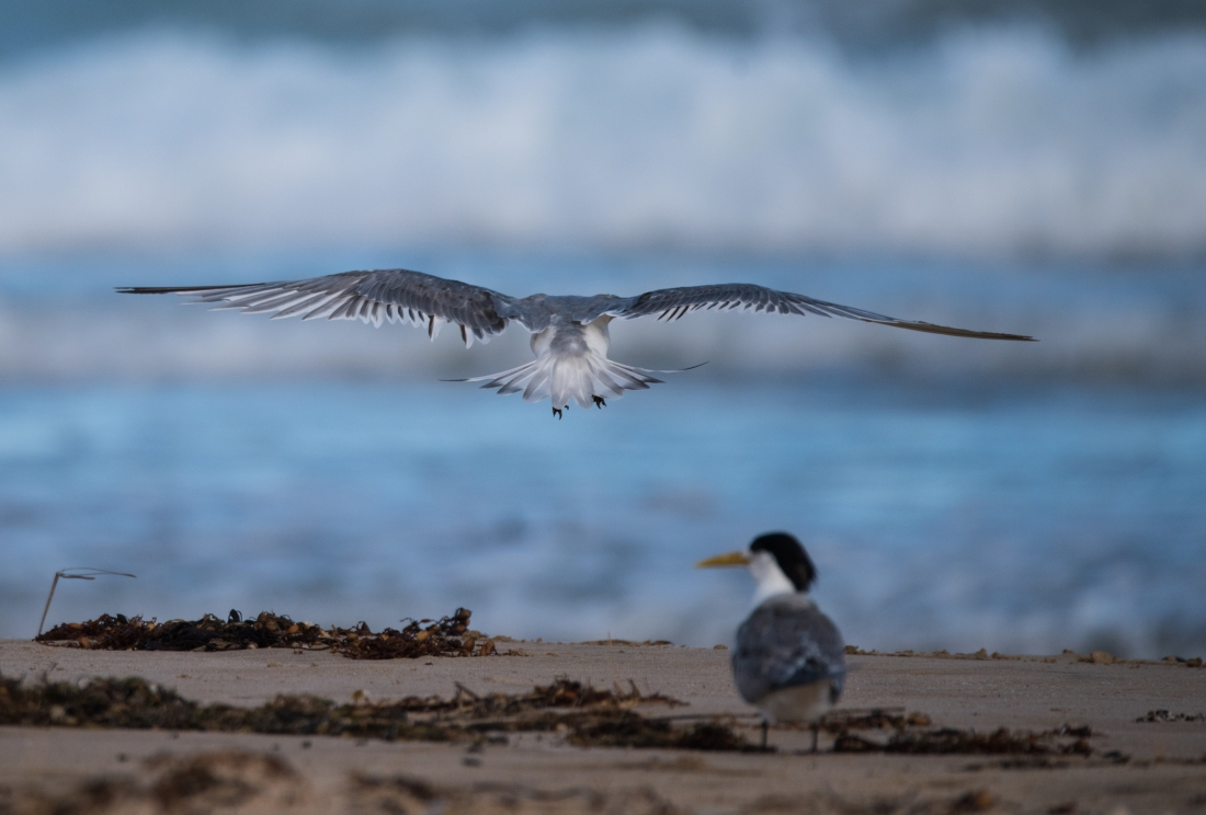 John Langmead_Seabirds Marengo Beach 6 march 2018_2285_20180306_Online
