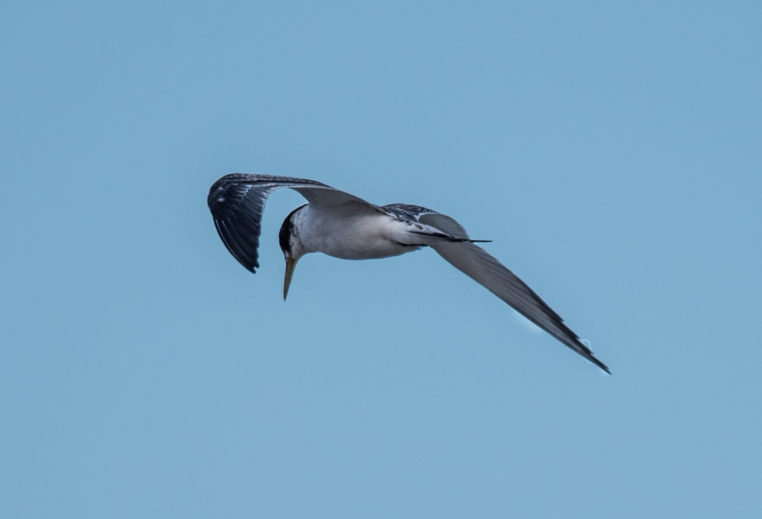 John Langmead_Seabirds Marengo Beach 6 march 2018_2289_20180306_Online