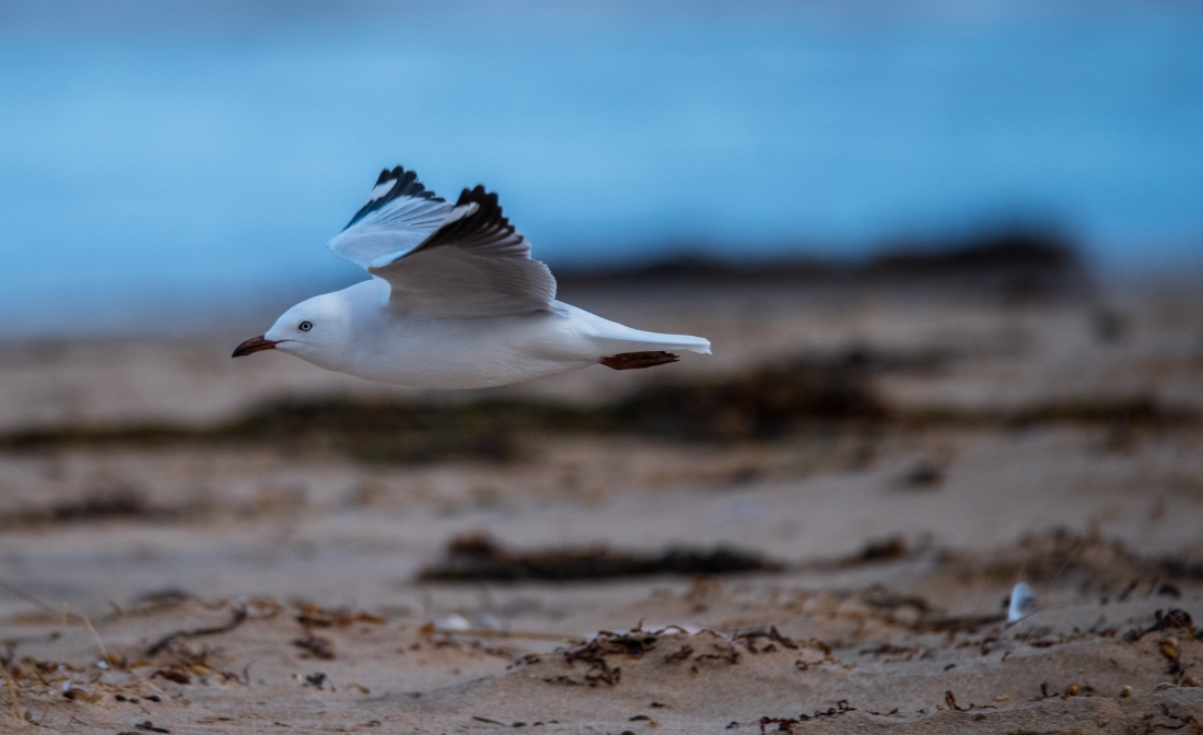 John Langmead_Seabirds Marengo Beach 6 march 2018_2290_20180306_Online