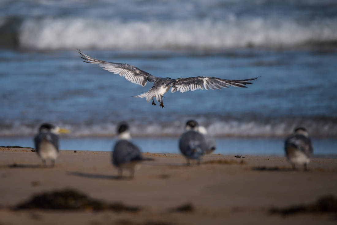 John Langmead_Seabirds Marengo Beach 6 march 2018_2300_20180306_Online