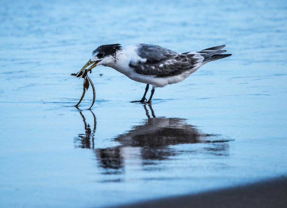 John Langmead_Seabirds Marengo Beach 6 march 2018_2315_20180306_Online