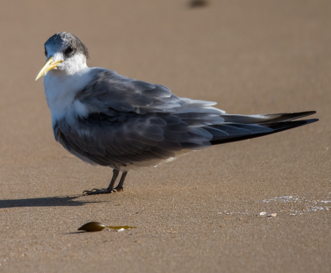 John Langmead_Seabirds Marengo Beach 6 march 2018_2338_20180306_Online