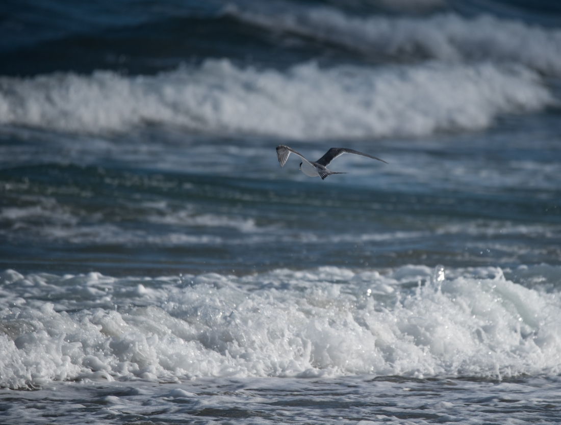 John Langmead_Seabirds Marengo Beach 6 march 2018_2339_20180306_Online