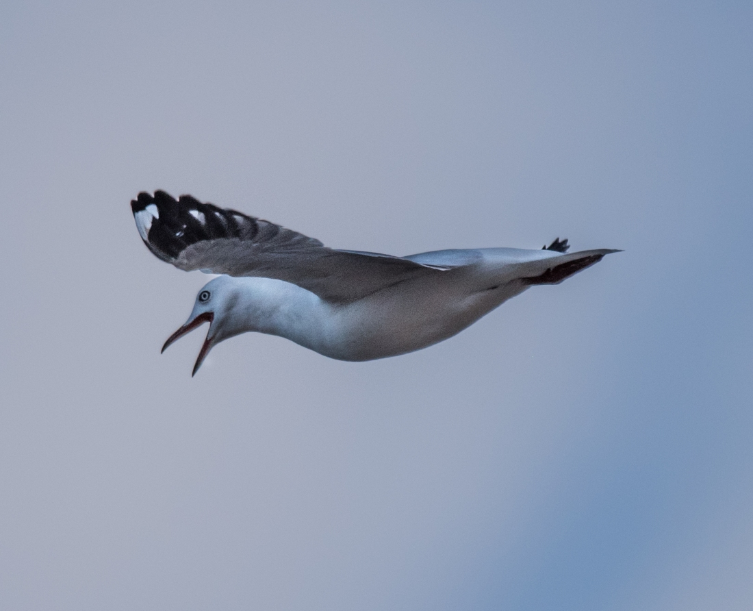 John Langmead_Seabirds Marengo Beach 6 march 2018_2395_20180306_Online