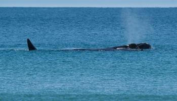 Southern right whale at Apollo Bay