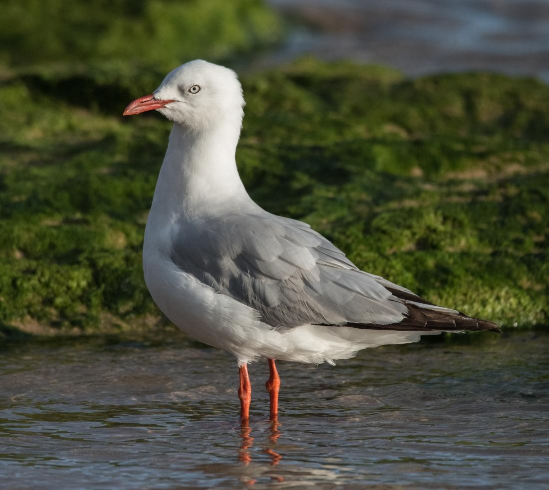 John Langmead_Seagulls Barham R_7542_20181021_Online