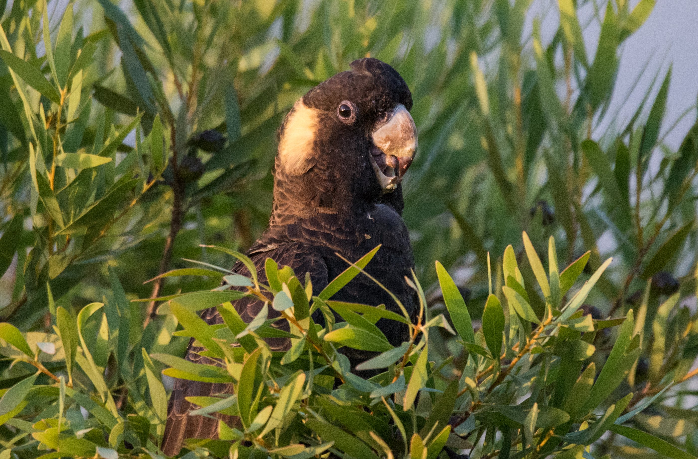 John Langmead_Yellow tailed black cockatoo_8253_20190109_Online