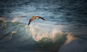 Juvenile Pacific gull flying over waves at sunset