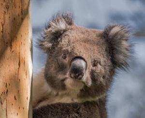 Koala in gum tree Apollo Bay