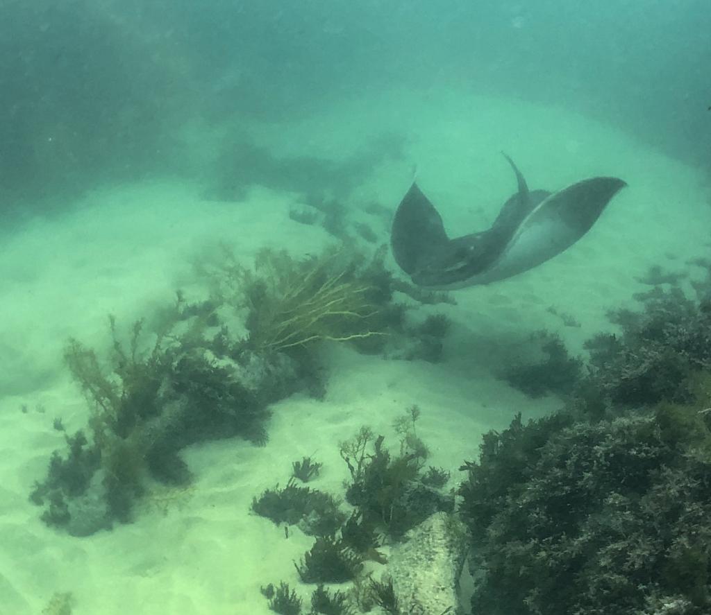 Snorkelling at Crayfish Bay. Stingray.