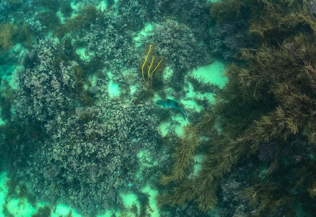 Underwater photo of kelp, seaweed and reef at Crayfish Bay