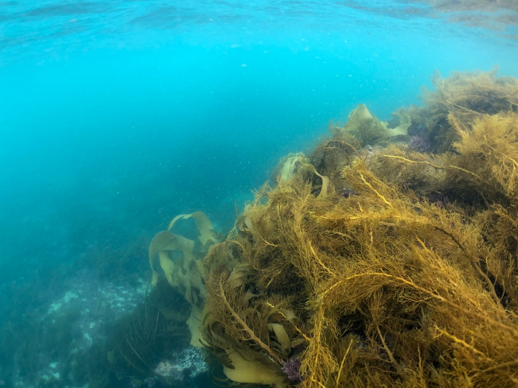 Underwater photo of kelp on reef at Crayfish Bay