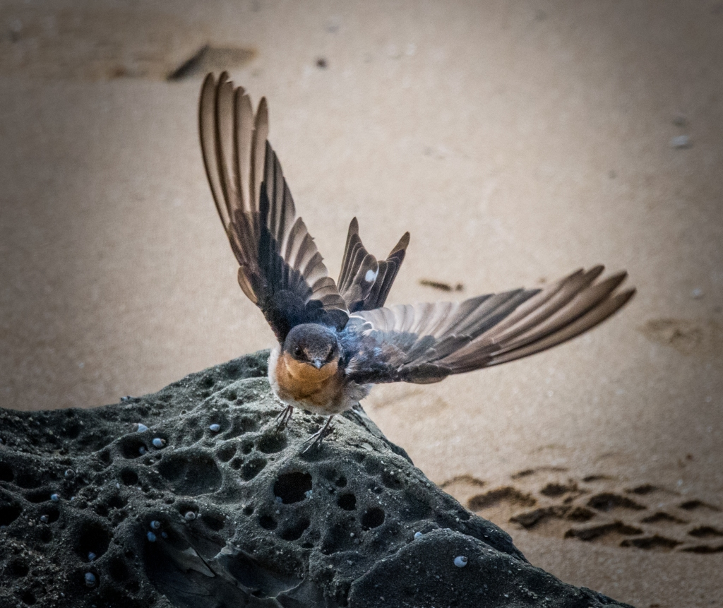 Welcome swallow alighting