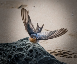 Welcome swallow flying at beach