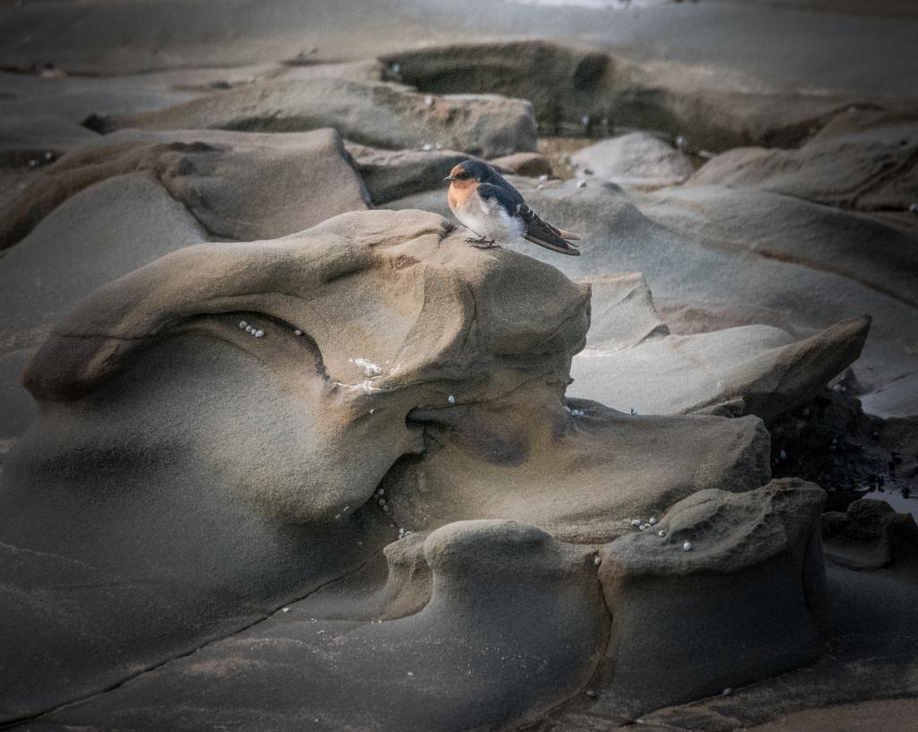 Welcome swallow on coastal rock shelf
