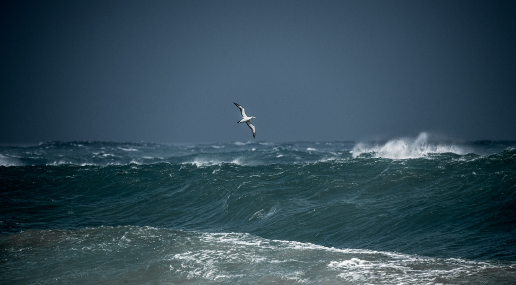 Australasian gannet wheeling over rough seas and big swell south of Hayley Point.