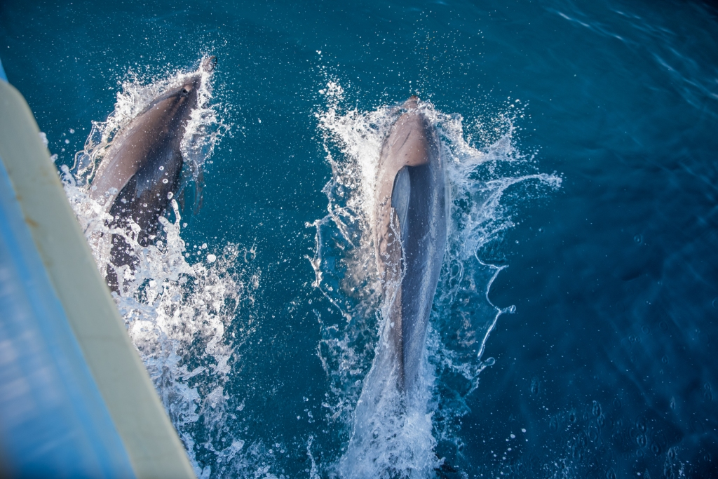 Common dolphins swimming in bow wave of the Karlene-Marie, cray boat, 7-8kms off Apollo Bay