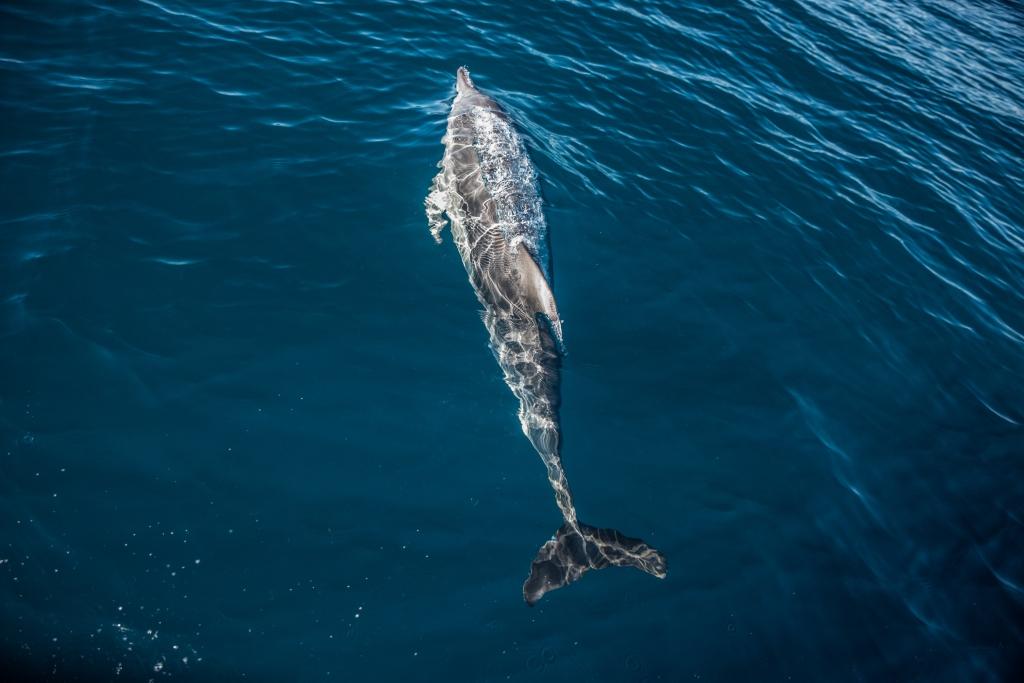 Wild common dolphin off Apollo Bay