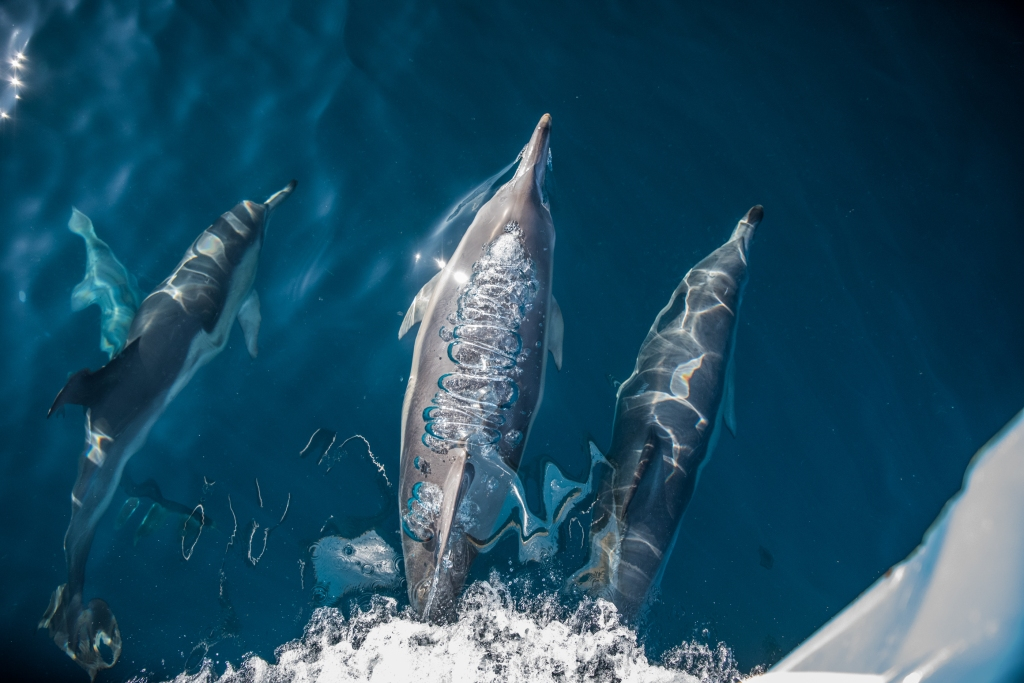 Common dolphin swimming in bow wave of boat with pattern of exhaled air flowing down back.