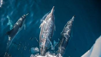 Common dolphins off Apollo Bay