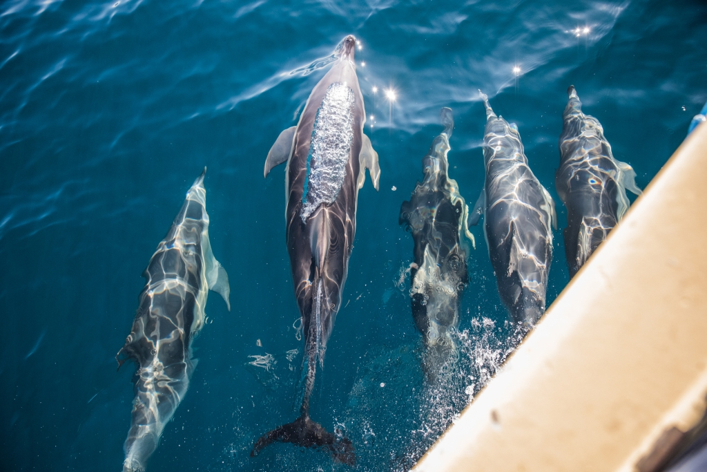 Five common dolphins swimming in formation in the bow wave of the Karlene-Marie