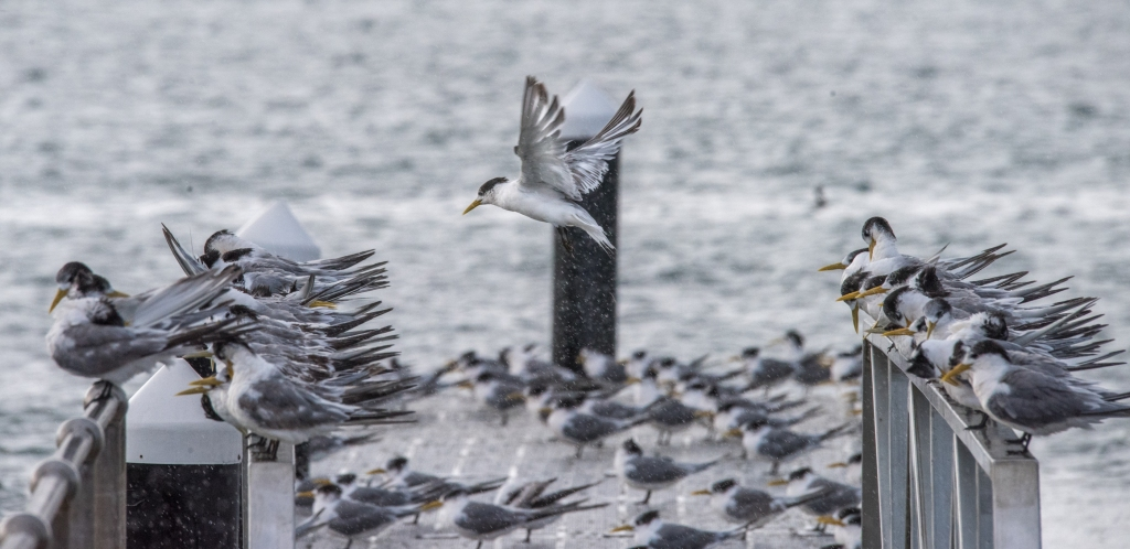 Crested terns in Apollo Bay harbour