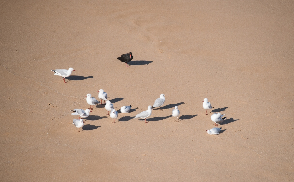 Sooty oyster catcher and silver gulls on beach