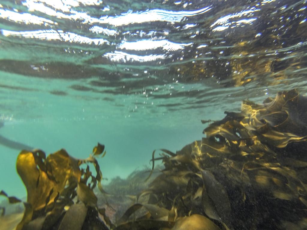 Bull kelp underwater