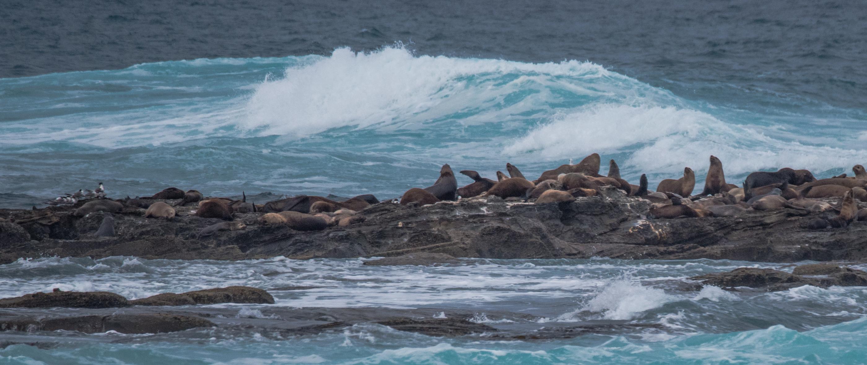 Seals on Little Henty Reef at Marengo