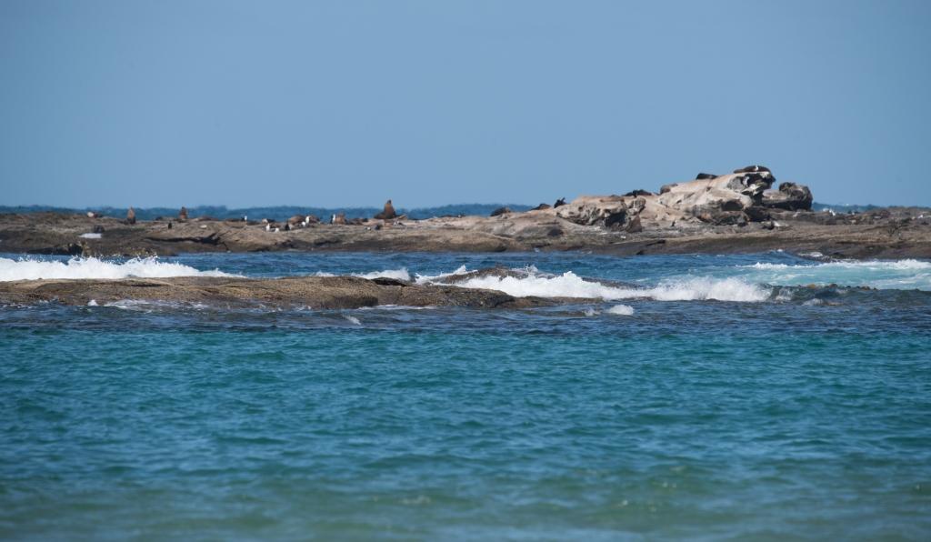 Seals on Little Henty Reef