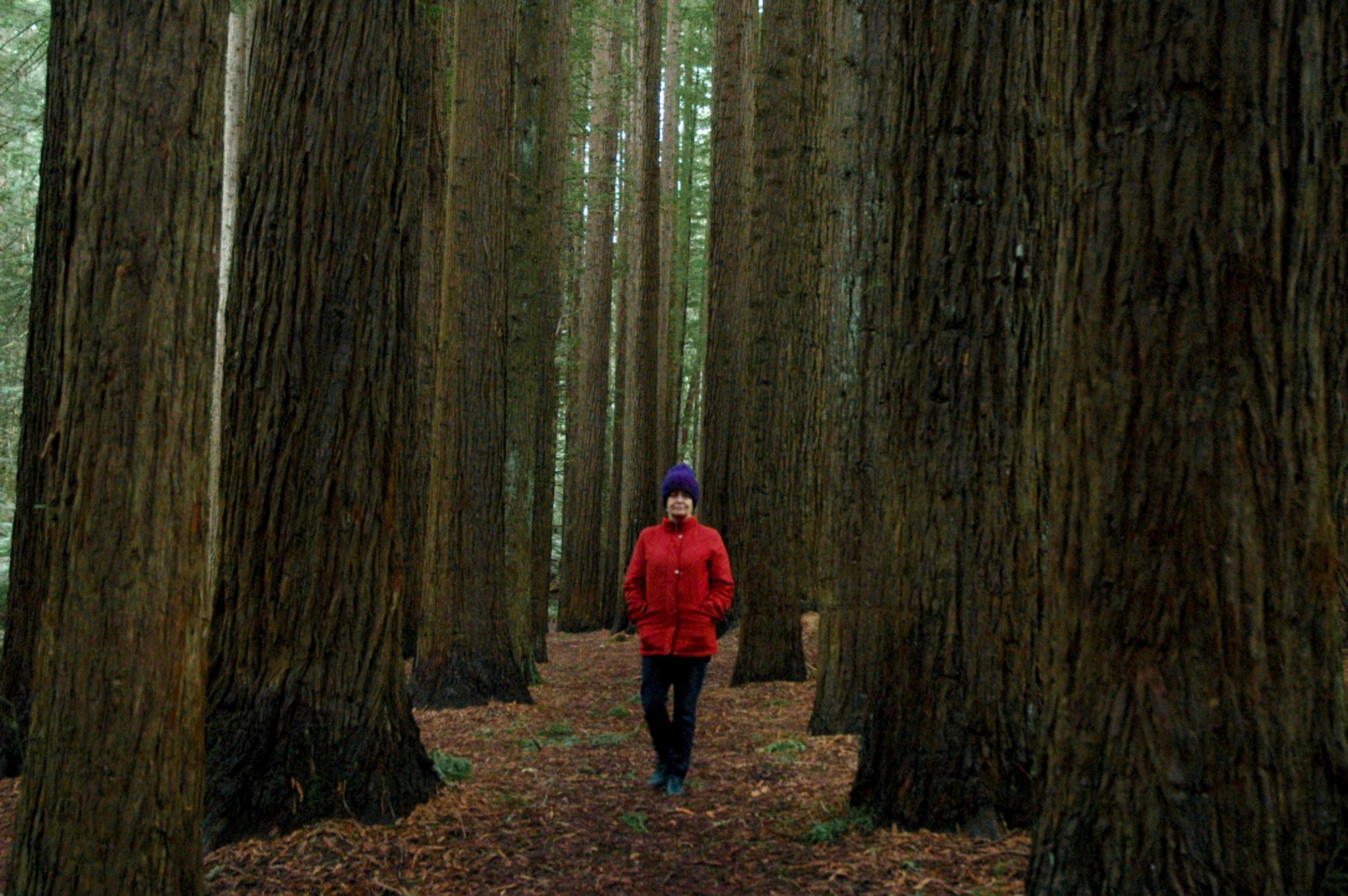 Californian Redwoods Otway Ranges