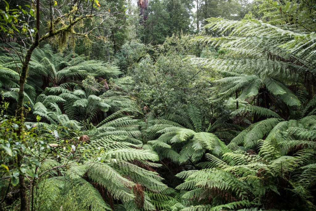 Dense cover of tree ferns