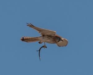 Nankeen kestrel flying with lizard