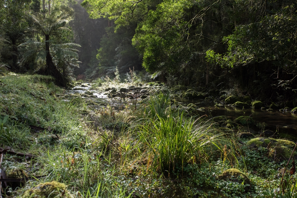 Cool temperate rainforest on east branch of the Barwon River