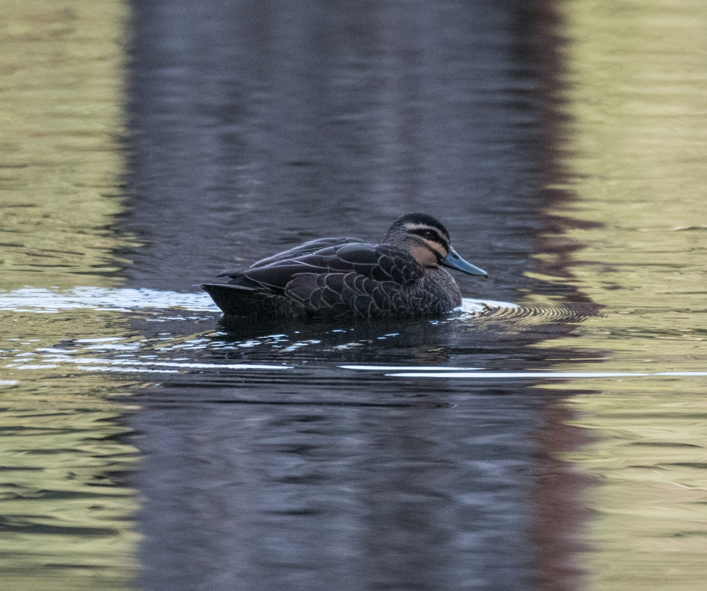 Pacific black duck on the lake