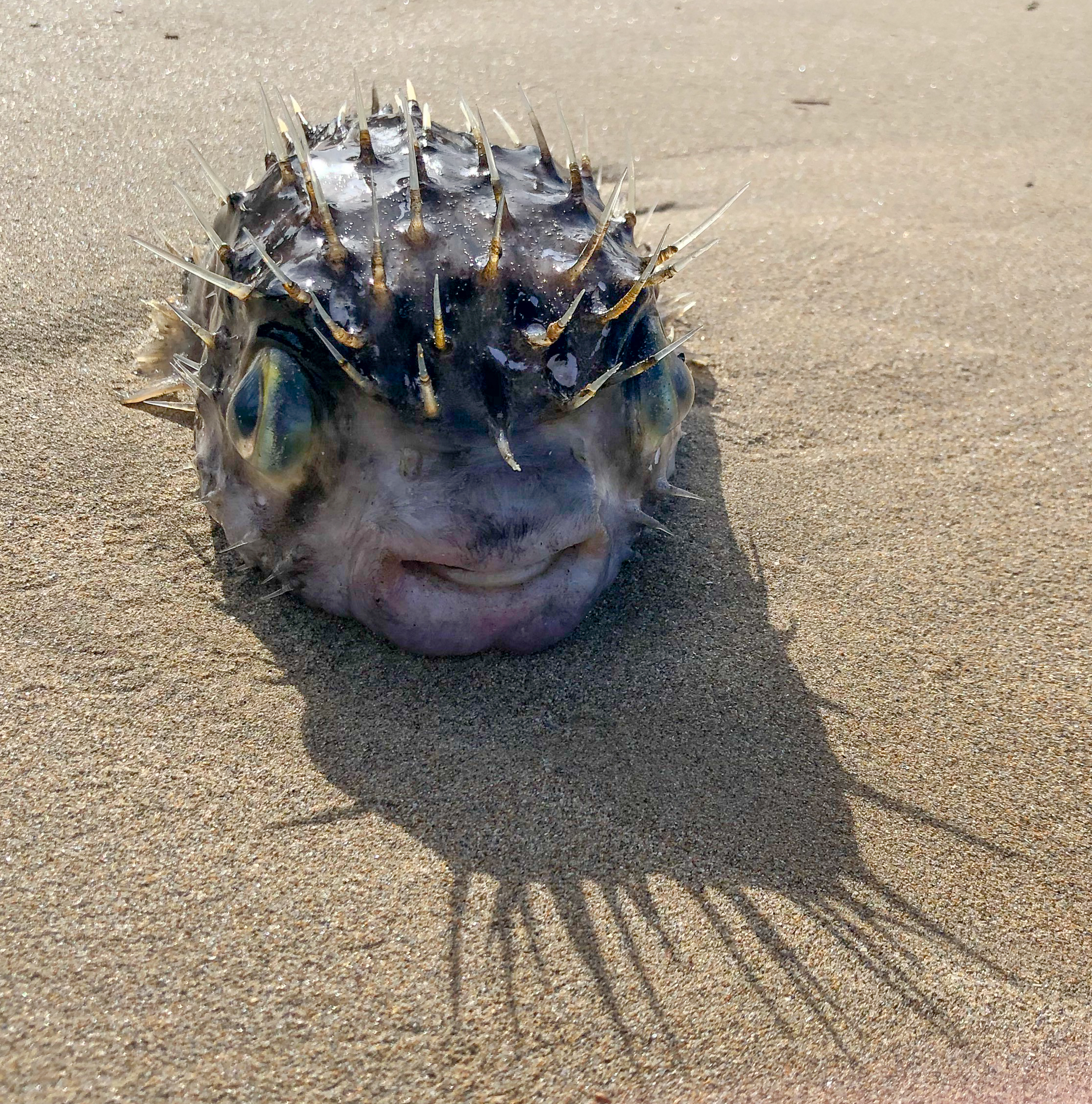 Puffer fish stranded on beach
