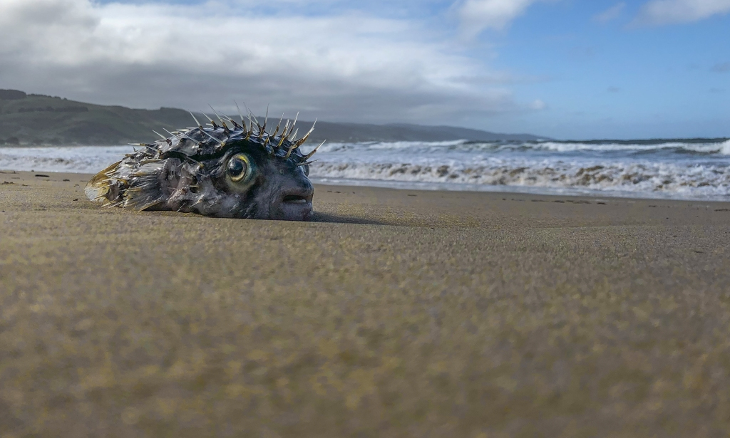 Porcupine fish stranded by easterly wind on Apollo Bay beach