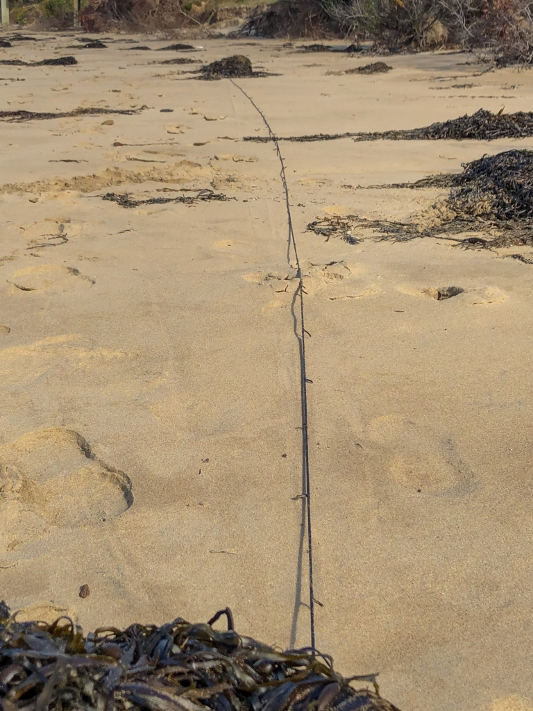 Kelp washed up on Apollo Bay beach