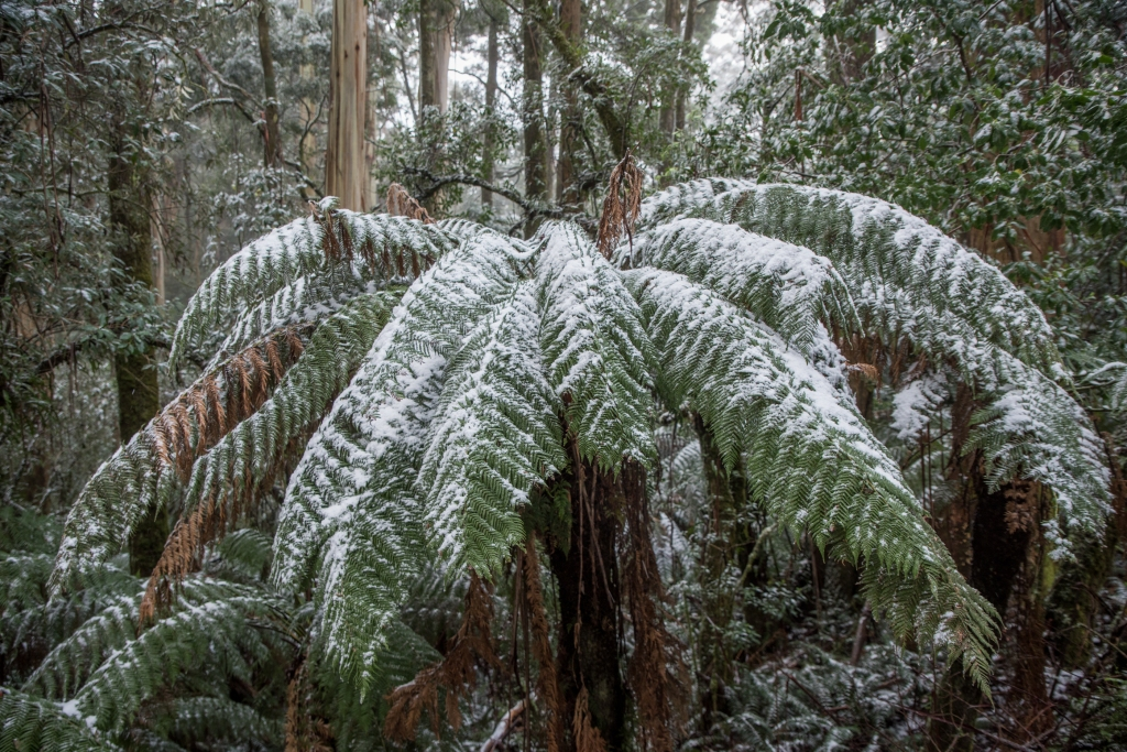 Snow in the Otway Ranges on Turtons Track