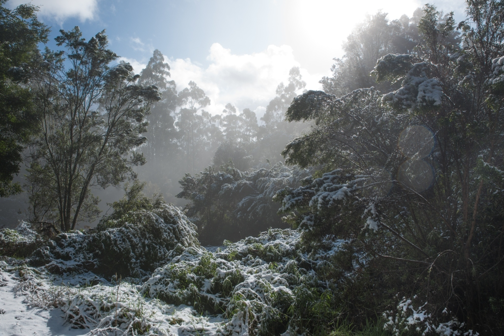 Snow in the gum trees