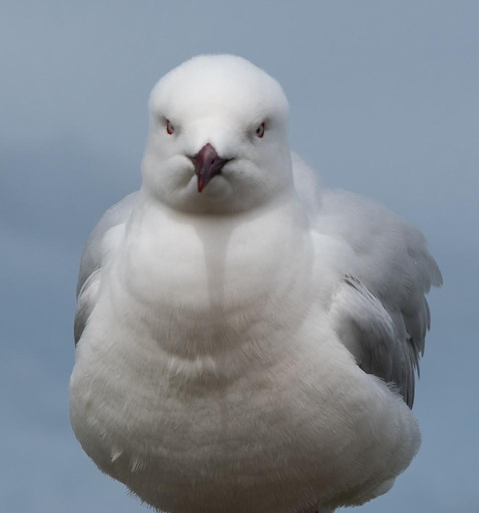 Silver gull at Peterborough