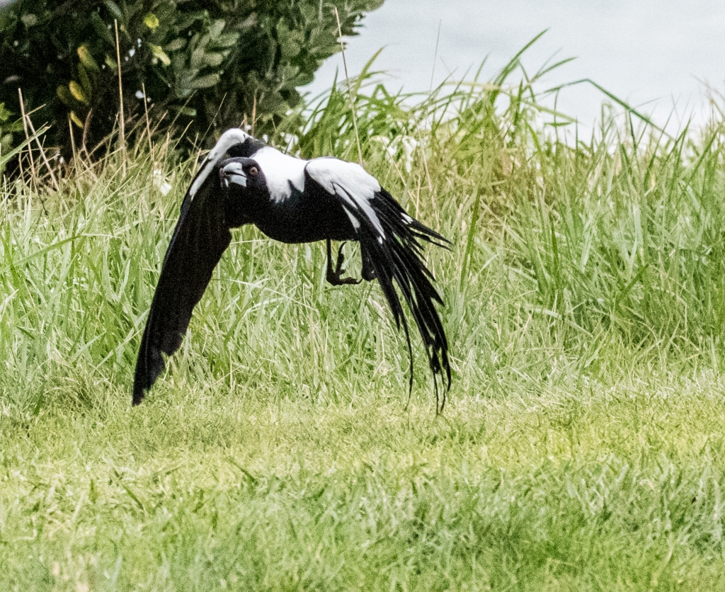 Incoming low flying magpie
