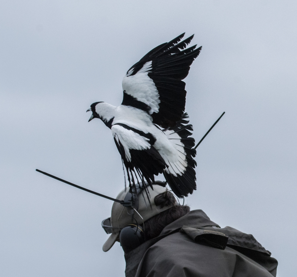 Magpie swooping groundsman